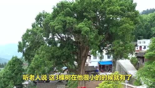 老人院里有3棵千年金丝楠木!土豪出价28亿!专家:可不能卖!