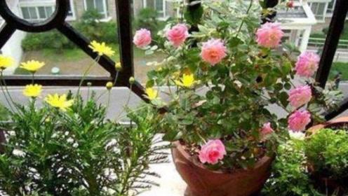 不管养什么花,只需用它喷一喷,不黄叶,蹭蹭疯长,爆满盆