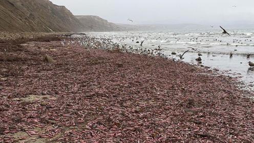 成千上万只25cm棒状物暴露海滩 中医曝有奇特功效