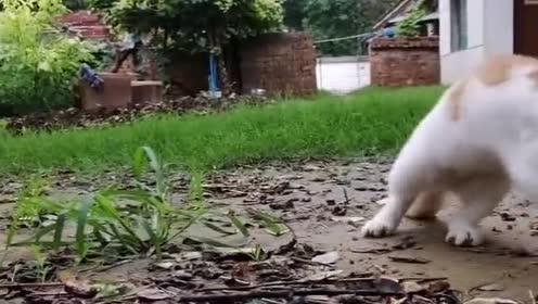 现在猫咪真会玩!逮来老鼠不吃!竟当成玩具玩