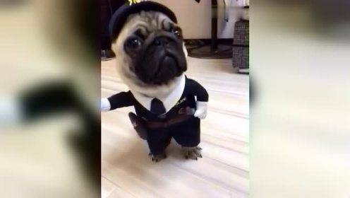 穿着制服的狗狗,动作与配乐神同步!