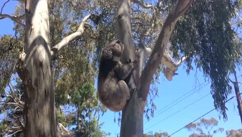 无尾熊争地盘,小只的被大只的无尾熊从树上拉下来,无助的哭了!