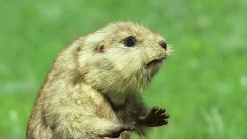 BBC纪录片《荒野间谍》介绍了一种会唱歌跳舞的小动物,去看看吧