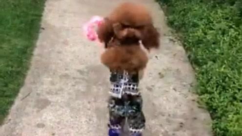 直立行走的泰迪,超可爱
