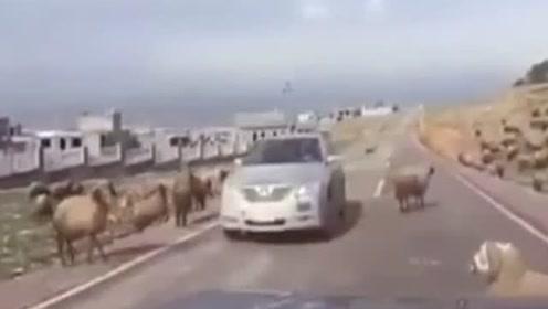 """哭笑不得 山羊把过路汽车撞""""毁容""""了"""