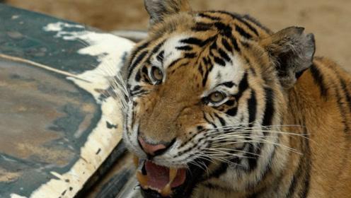 北京老虎伤人案,人人都谈虎色变,他却扒开了虎口