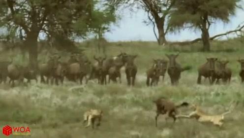 角马斗志十足,竟一己之力大战三只花豹还不占据下风