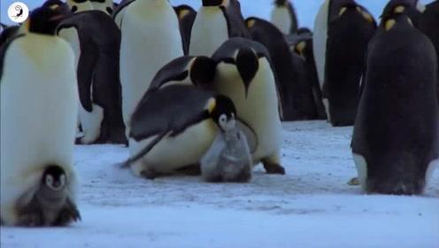 企鹅宝宝是企鹅妈妈还是企鹅爸爸孵出的呢?