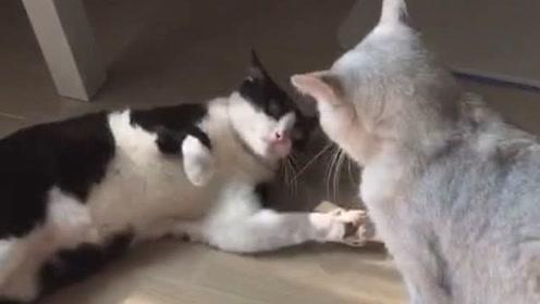 奶牛猫果然逗,打个架都特别搞笑