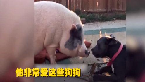 300斤肥猪 享受王子般待遇