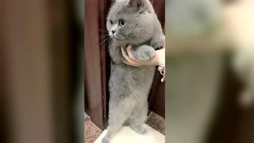 大猫咪犯错了,一点也不想道歉