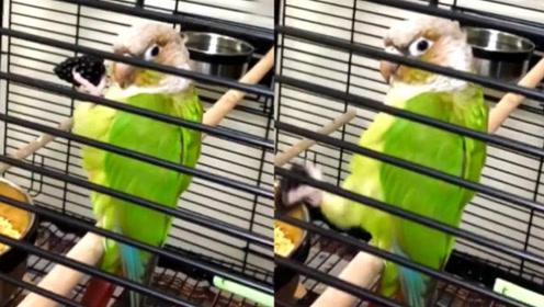 鹦鹉简直是鸟界二哈,皮一下感觉很可爱的样子!