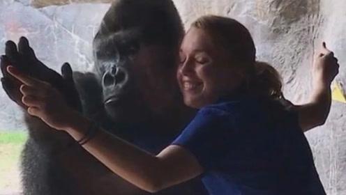 实拍大猩猩模仿人类倒立 还隔着玻璃跟人拥抱