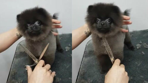可爱狗狗随音乐节拍整理毛发 造型师也被感染了