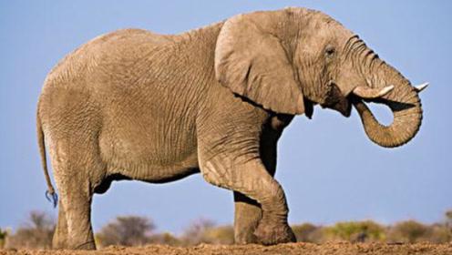 动物世界奇闻趣事 小象与狮子对决,拼尽全力的小象结局能否逆转?