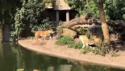 动物园一苍鹭误入狮圈 遭母狮袭击沦为盘中餐_01
