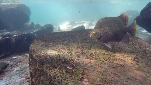 北领地的清澈溪流,生活了很多原生鱼种,翻开石头还发现了蓝钳大虾