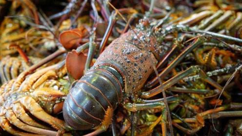 日本伊势龙虾,个头虽小但是味道极鲜