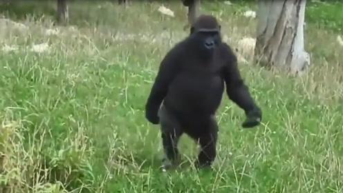 大猩猩走路简直六亲不认, 傲娇的步伐瞬间走红网络! 让人哭笑不得