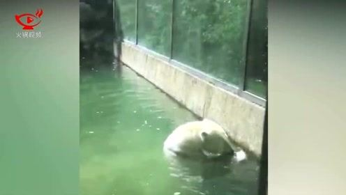 """北极熊将濒死小鸟抛向空中 似乎想""""救它一命"""""""