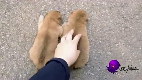 这只小奶狗也太可爱了吧,特别是这独特的声线