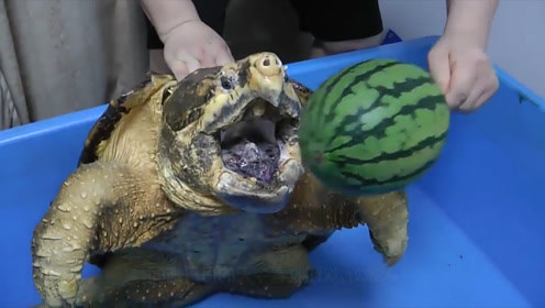 主人养了一只鳄鱼龟,却不知道喂什么,但它逮老鼠的过程太有趣了