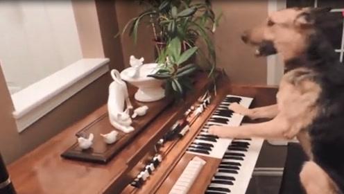 主人打开房门看到狗狗在弹琴! 场面还嗨的不行!