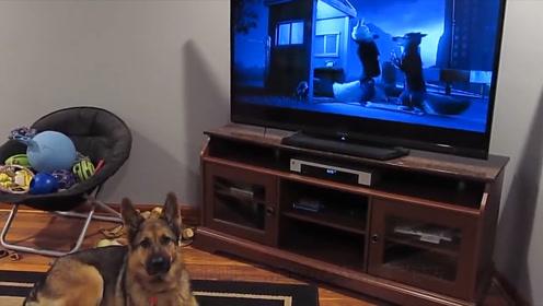 狗的祖先会是狼亲戚吗?狗狗看着电视里狼嚎,也学着叫了起来