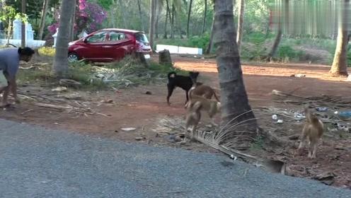 大黑狗被一群黄狗围攻,大黑狗勇猛反扑,黄狗一点便宜也没占到