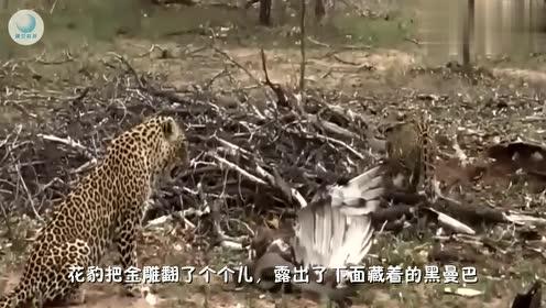 黑曼巴蛇真霸气,直接把金雕缠死,边上的花豹吓的不敢动它