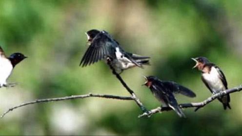 燕子冬天都会迁徙,都去哪里过冬呢,看完后长见识了