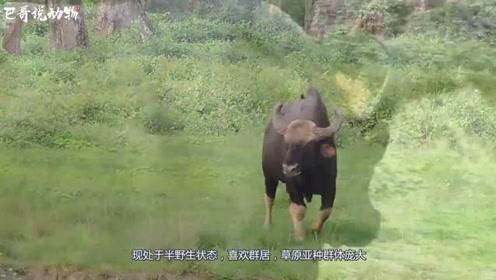 牦牛群正在迁徙,一只小牦牛却被撞入水中,镜头拍下全过程