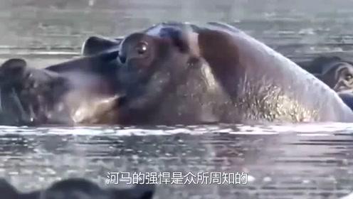 鬣狗群下水偷袭河马,结果却让人意外,镜头拍下全过程-
