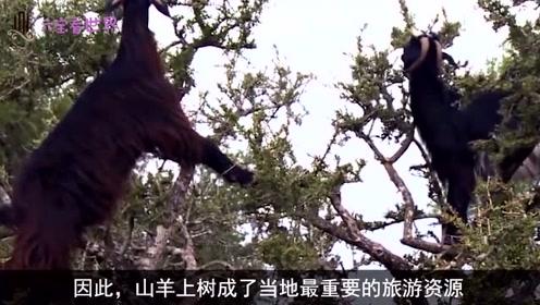 全球最牛山羊,能制造液体黄金,最特别的还是会爬树!
