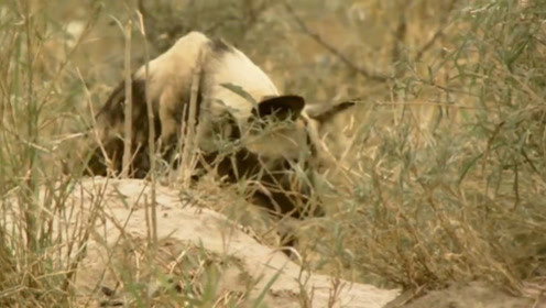 野狗觅食结束钻回洞中,小野狗们正在休息,瞬间被大狗惊醒!
