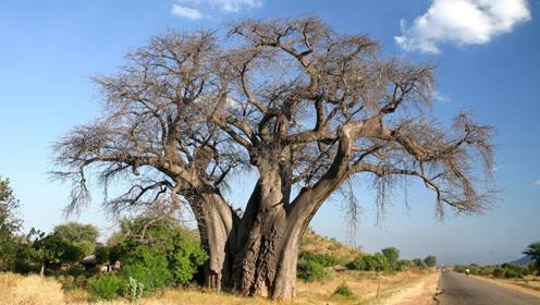"""""""吸水达人""""猴面包树!号称是植物界的骆驼"""