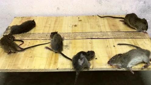 一只老鼠的自白:生命尽头走的那段路,是人类的套路