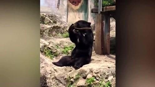 """日本""""功夫黑熊""""耍棍棒 屡次被敲头仍不放弃"""
