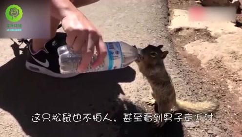 可爱的小松鼠因天气炎热,居然主动向路人讨水喝,好萌啊