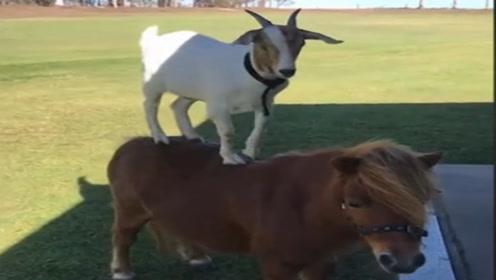 跨越物种的友谊!小羊竟然喜欢站在小马身上!