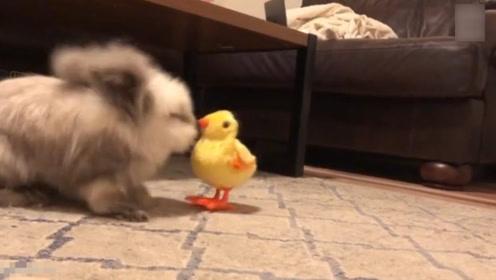 暴躁家兔对电动小鸡玩具不感兴趣 频频将其推翻