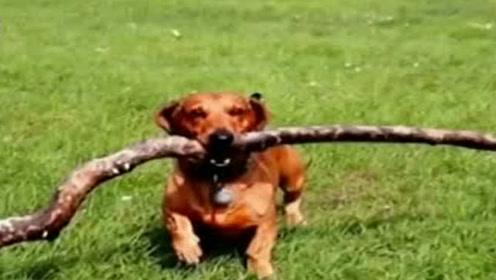 英国一腊肠犬身长不到30公分 唯独爱叼大树枝!