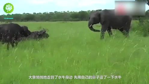 大象刚踢了水牛一脚,接着水牛就对着大象屁股顶上去,烂成这样