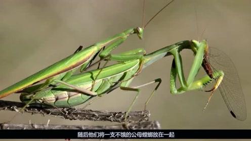 """母螳螂为啥吃掉""""公螳螂""""?专家:不是为下一代,因为""""饿""""了!"""