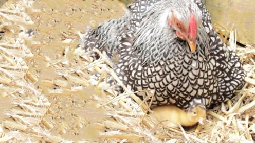 老人意外捡到几颗蛋,回家让母鸡孵化后,吓得连忙报警