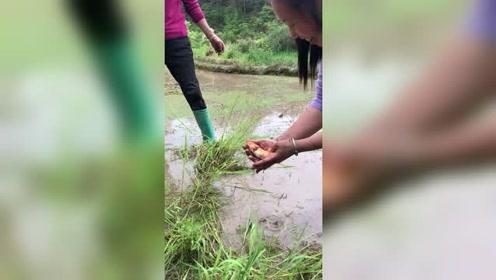 荒地除草,意外发现一条红鲤鱼