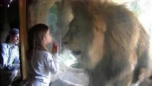 小朋友隔着玻璃给狮子一个吻,下一秒狮子反应亮了,一起来见识下
