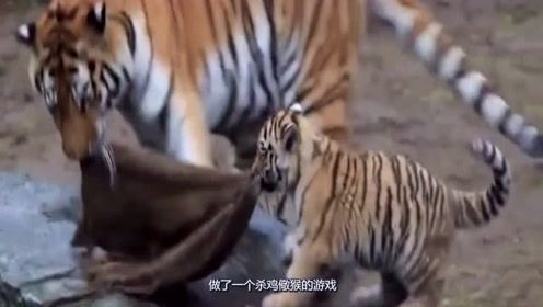 杀鸡儆猴!动物园为警示动物安排一场疯狂闹剧,老虎腿都软了!