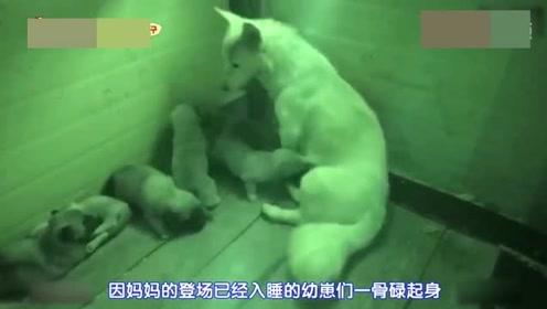夜深人静的时候白狗回到幼崽身边,这才显得白天的疲倦