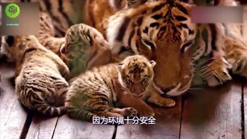 虎妈妈初次生娃,对饲养员露肚子撒娇,人和动物这一幕太温馨了!